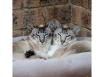Chicas Cattery - Siamese and Oriental Cats - Perth, WA