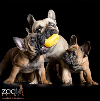 Sarcelles Kennels - French Bulldog Breeder - Geelong, Vic