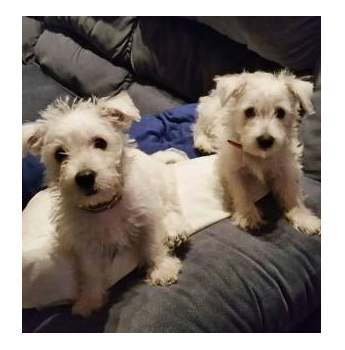 Mullywhites - West Highland White Terrier Breeder - Brisbane, QLD