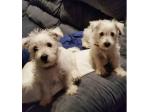 Mullywhites - West Highland White Terrier Breeder - Brisbane, QLD