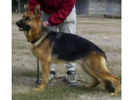 Gelbregen - German Shepherd Dog Breeder - Ballarat, VIC