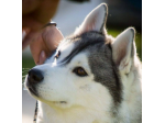 Romeka Siberian Husky Breeder - Adelaide, SA