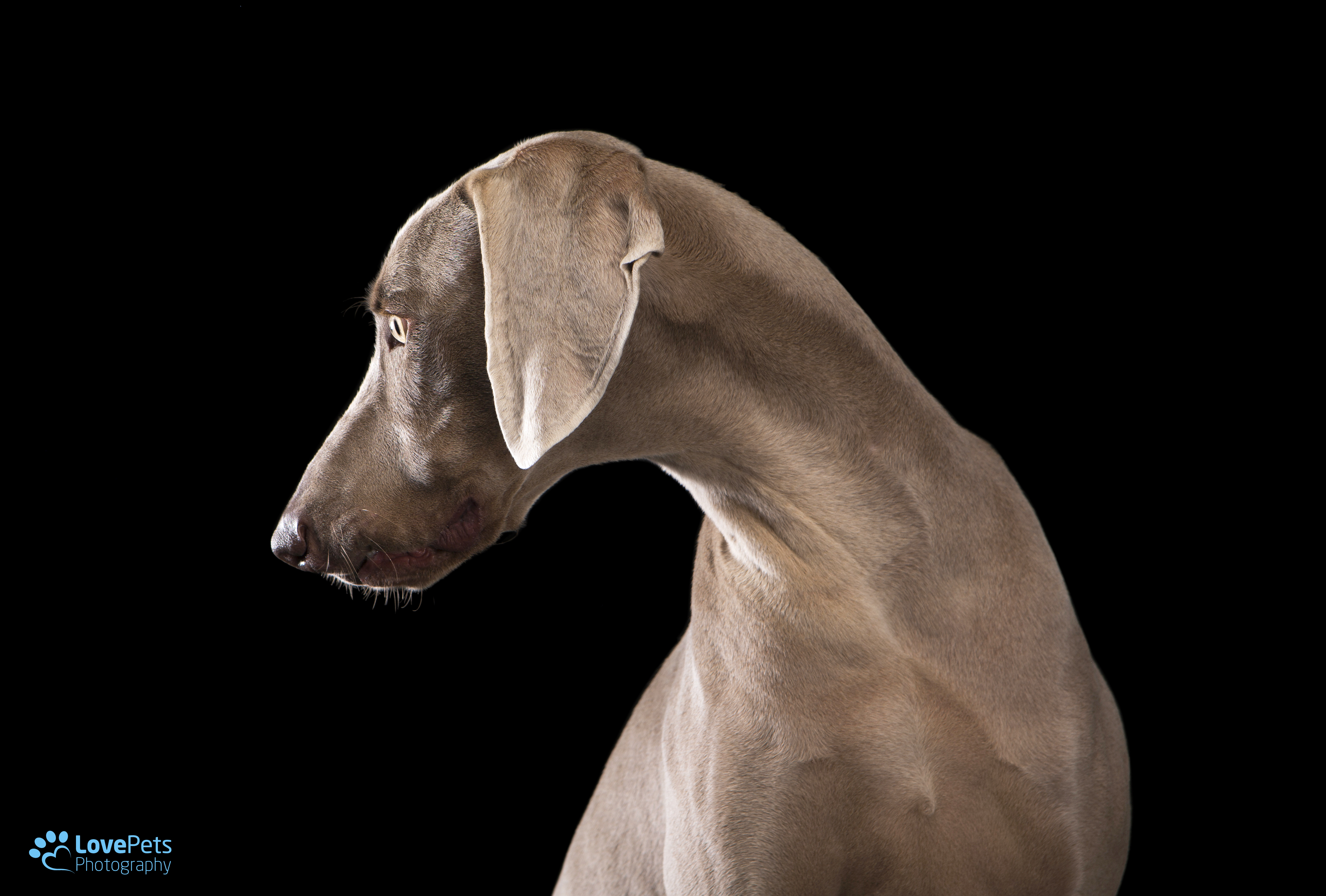 Shadoe the elegant Weimaraner  gallery image
