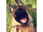 Iccara - German Shepherd Breeder, Siberian Husky Breeder - Perth, WA