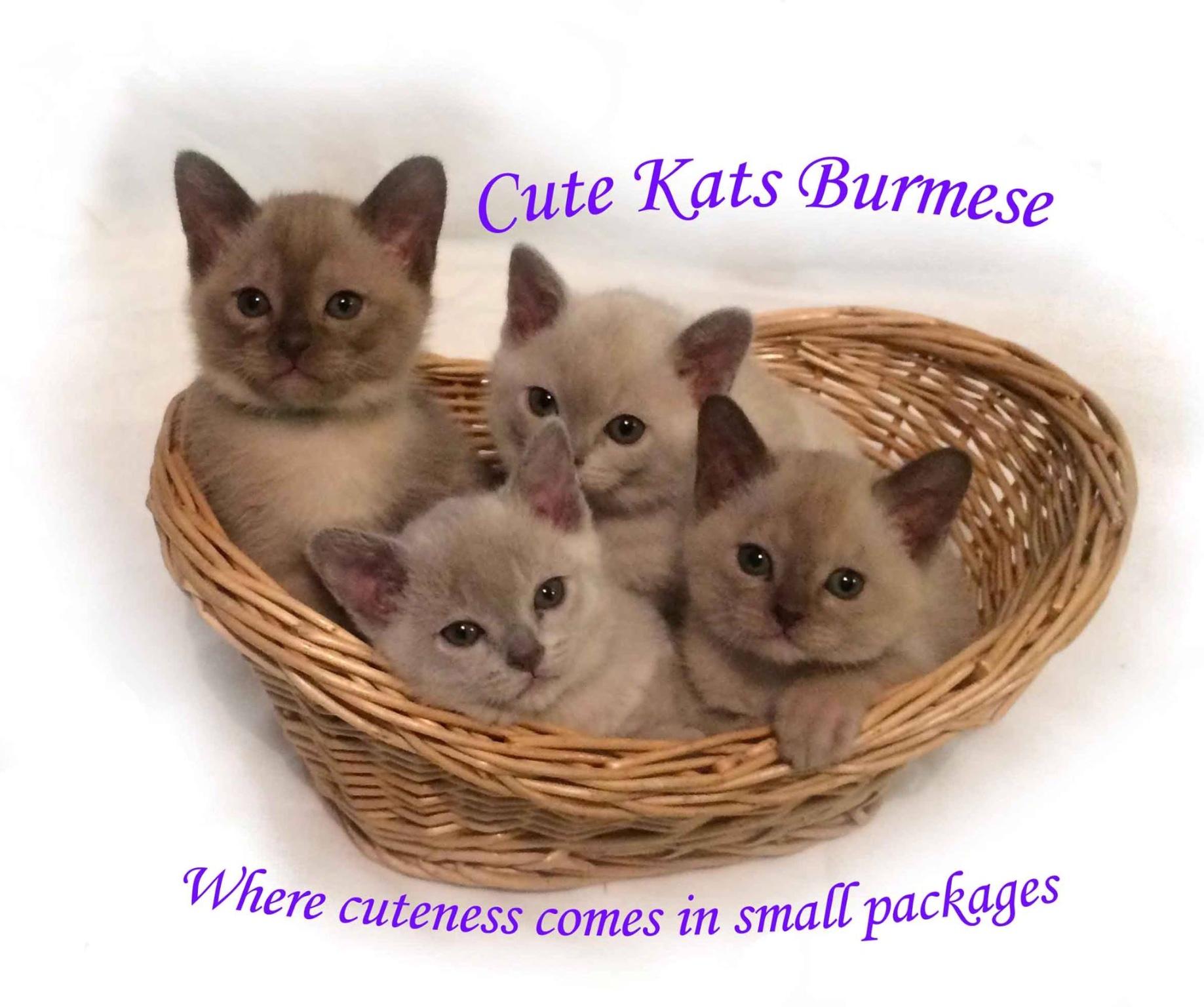 Cutekats Burmese Cattery