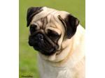 Obsidion Pugs - Registered Pug Breeder - Adelaide, SA