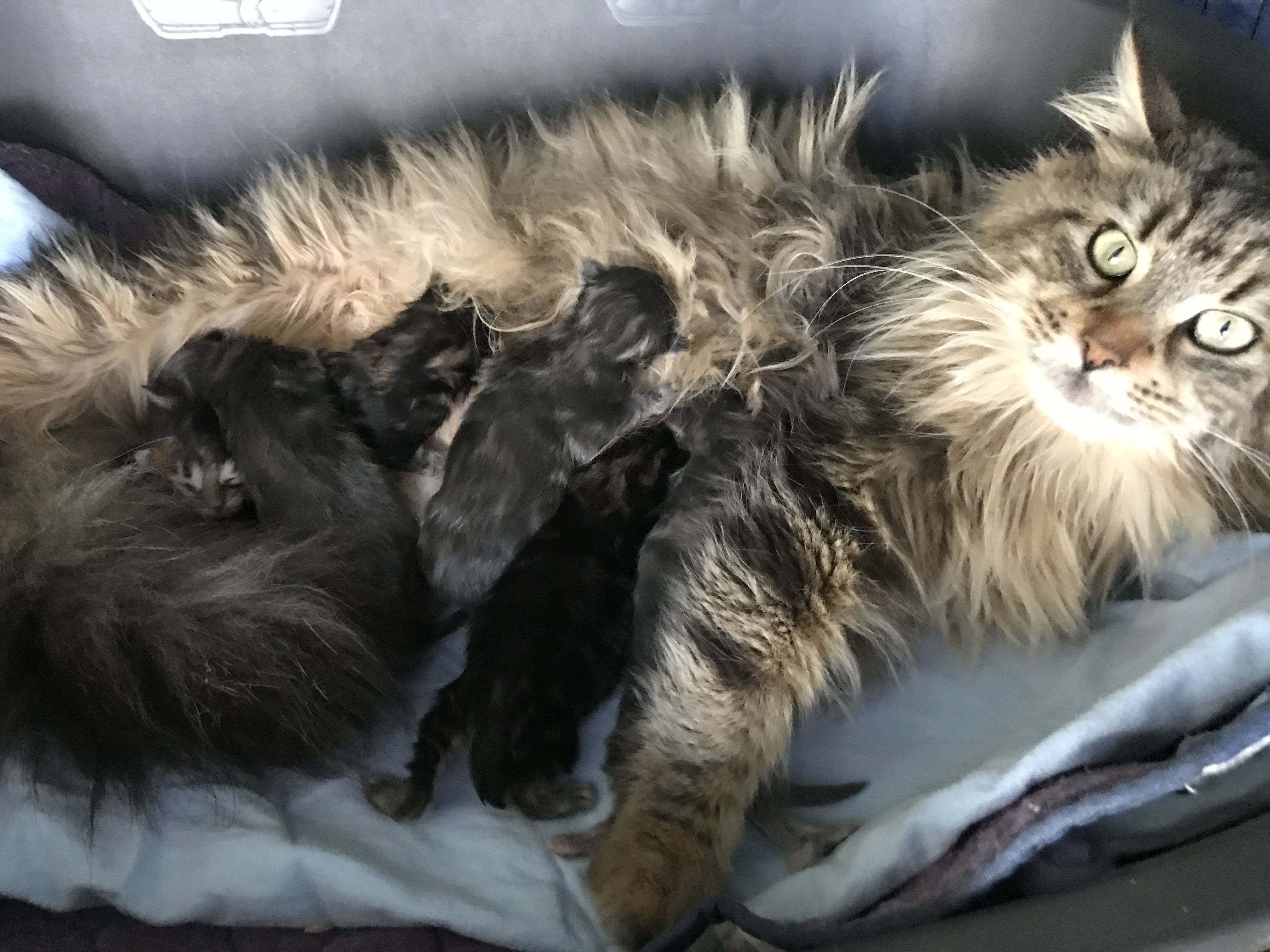 Fullofcharm Maine Coons - Maine Coon Cat Breeder
