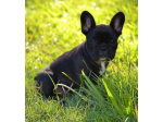 Zulubul Kennels - Staffordshire Bull Terrier & French Bulldog Breeder - Brisbane, QLD