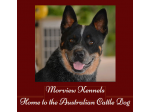 Morview Kennels - Australian Cattle Dog Breeder - QLD