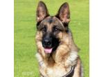 Vondoussa Kennels - German Shepherd Breeder - Adelaide, SA