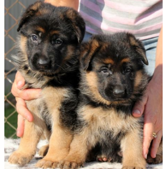 Breeders have worked vigorously over recent years to eliminate problem  genes and today the German Shepherd is returning to the intelligent, loyal  and loving ...