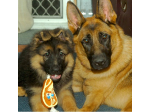 Shepwest German Shepherd Breeder - Tweed Valley, NSW