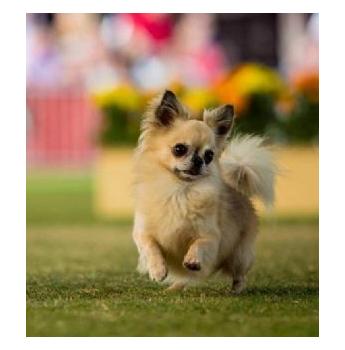 Voncronan Chihuahuas Smooth Long Coat Chihuahua Breeder Adelaide Sa