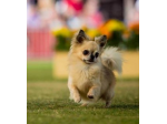 Voncronan Chihuahuas - Smooth & Long Coat Chihuahua Breeder - Adelaide, SA
