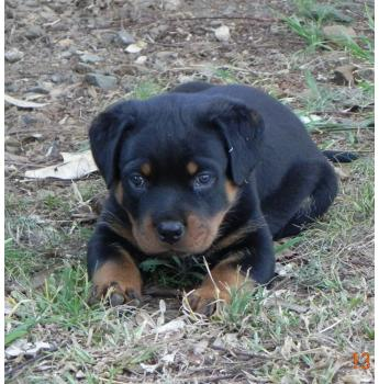 Rottweiler - page 2 - Puppies for Sale Near Me