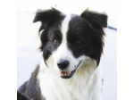 Vinum Border Collies - Border Collie Breeder - South Australia