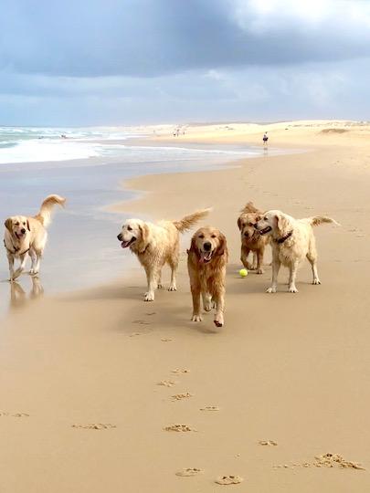 Golden Retriever beach get together