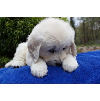 Kiteroa - Golden Retriever Breeder - Hunter Valley, NSW