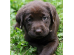 Choccierayz Chocolate Labradors - Labrador Breeder Gold Coast, QLD