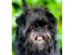 Simias Kennel - Affenpinscher Breeder - Goulburn, NSW