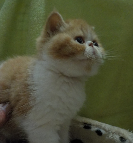 buddy bear  red tabby bicolour boy gallery image