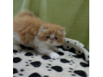Mytrishael - Persian Exotic Breeder - Sunshine Coast