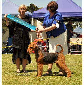 Ingalou Airedale Terrier Breeder - Melbourne, VIC