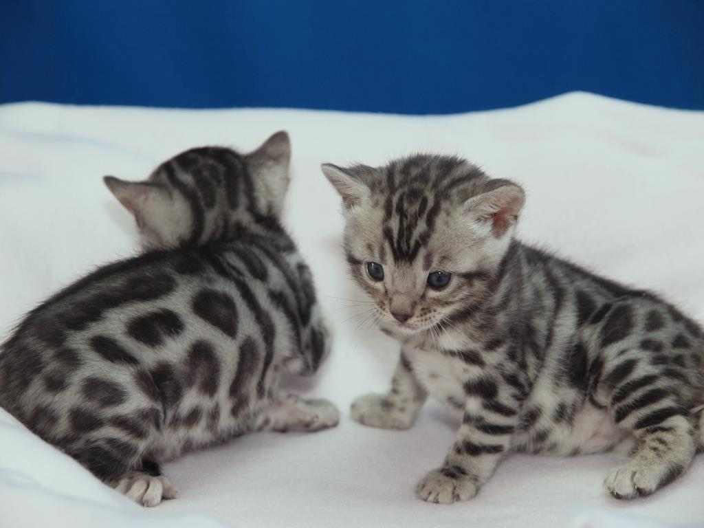 Bengal Cattery - AJAYS Silver Bengals - Bengal Cat Breeder, Victoria