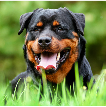 Registered Rottweiler Dog Breeders in Brisbane