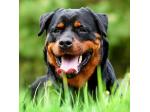Coalfire Rottweilers - Reputable Rottweiler Breeder - QLD