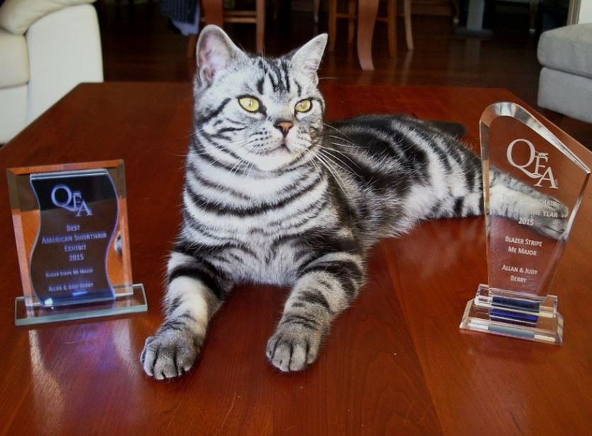 QFA  Inc  Best  American Shorthair Exhibit 15/16