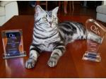 BLAZER American Shorthair Cat Breeder, Brisbane Queensland