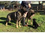 Vonbeauty Kennels - German Shepherd Breeder,  VIC