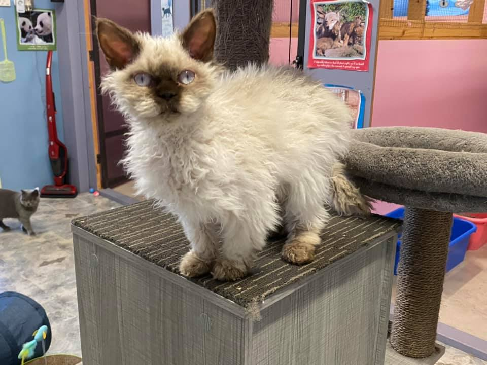 Selkirk Rex Colour Point gallery image