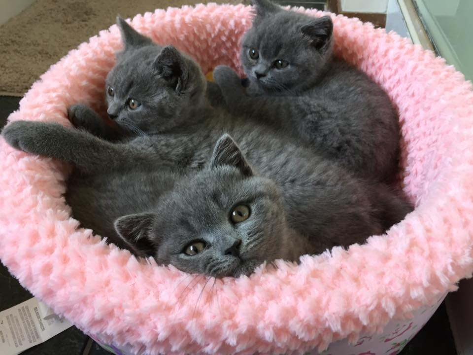 British Shorthair Blues gallery image