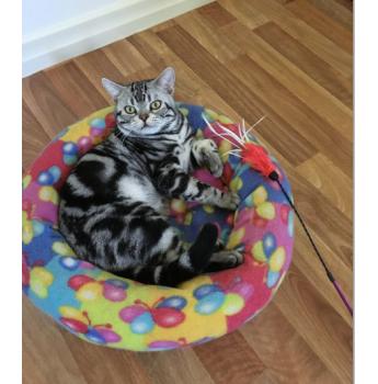 American shorthair cat breeders canada