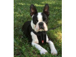 Bostonmac - Boston Terrier Breeder - Brisbane, QLD