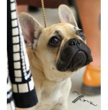 The French Bulldog Club of QLD