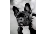 Llachar - French Bulldog Breeder - Gold Coast, QLD