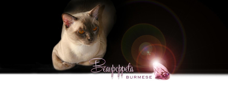 BeauPoppeta Burmese