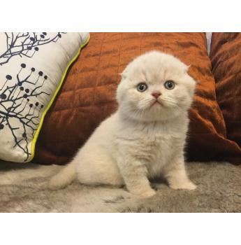 Scottish Fold Breeders Australia | Scottish Fold Info & kittens