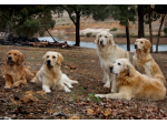 The Golden Retriever Club of Western Australia
