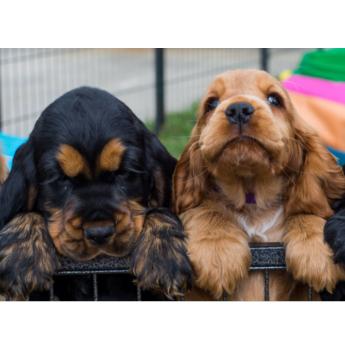 english cocker spaniel puppies for adoption