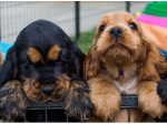 Tanilbalake Cocker Spaniels - Brisbane, QLD