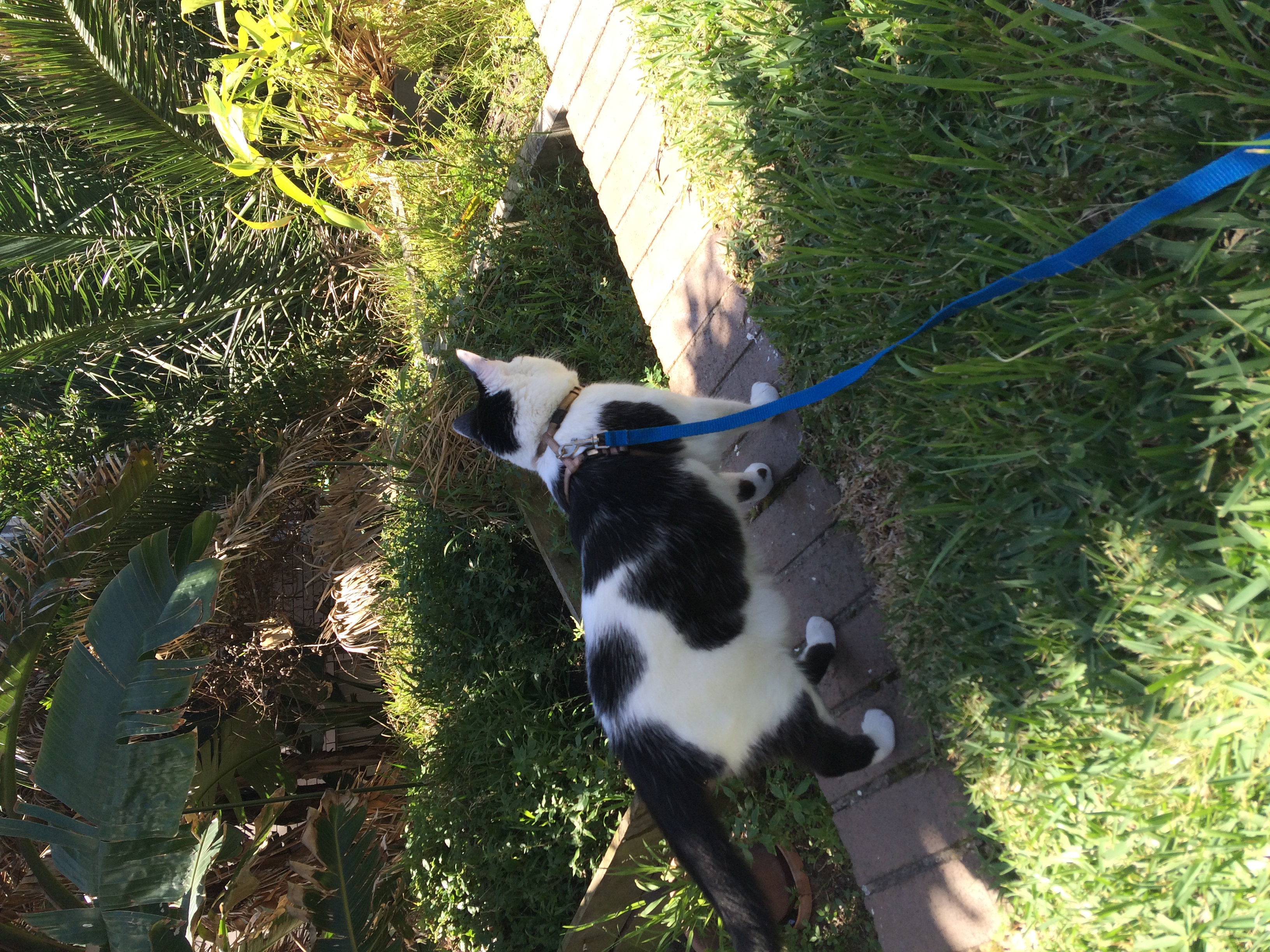 Cat Leash/Harness Walking gallery image