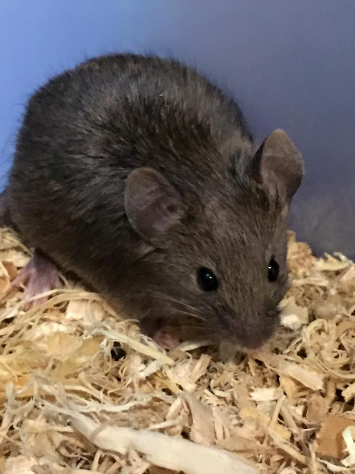 Agouti Manx Mouse gallery image