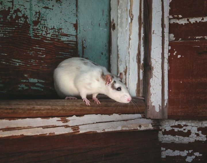 Spotted Downunder Rat gallery image