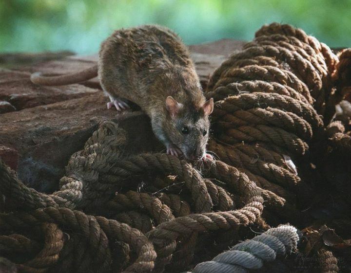 Agouti Velour Rat