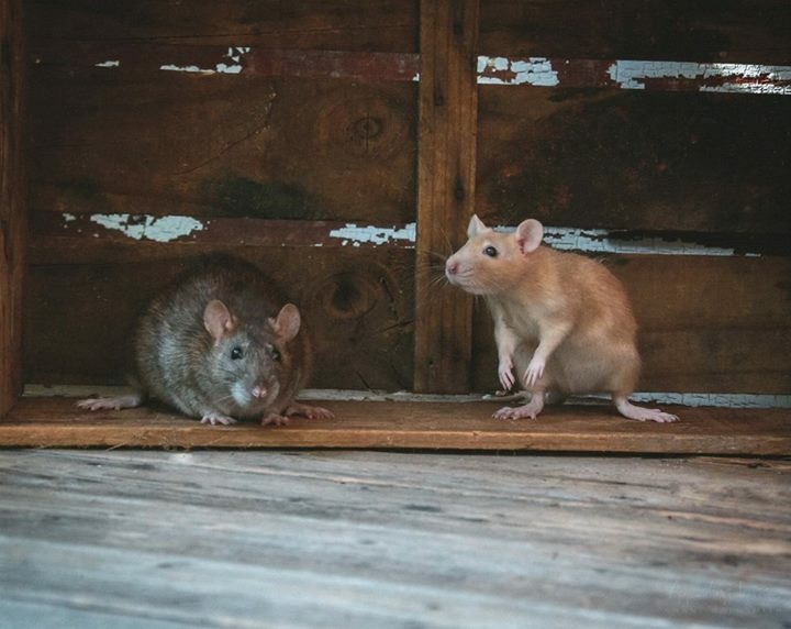 Agouti & Argente Rats gallery image