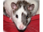 Australian Rat Fanciers Society - offering Rat Rescue & Rat Boarding - Melbourne, VIC